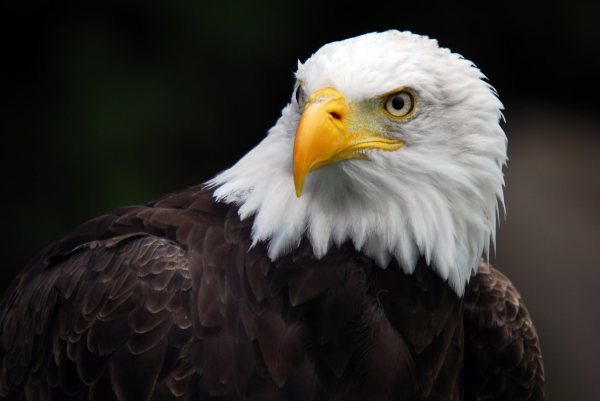 44298992-eagle-wallpapers