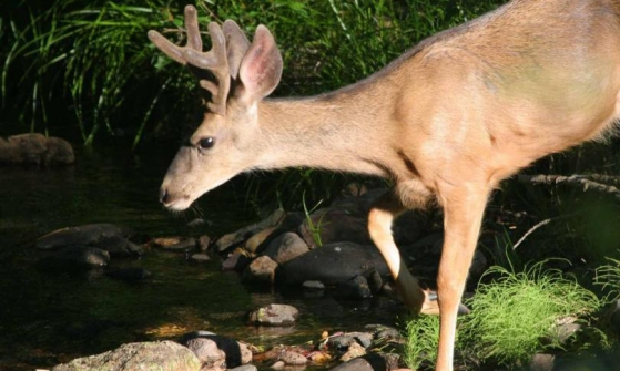a-deer-drinks
